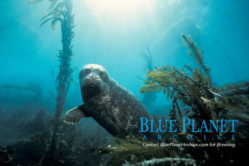 harbor seal, Phoca vitulina, San Clemente Island, Channel Islands, California, USA, Pacific Ocean