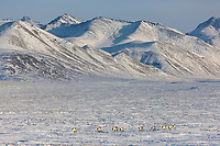 Caribou travel across the snow covered tundra in the Atigun Canyon, Endicott Mountains of the Brooks Range, semi tractor trailer on the James Dalton Highway, Arctic, Alaska.
