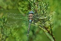 339220004 a wild male arroyo darner rhionaeschna dugesi perches on a small tree branch near a creek in scotia canyon cochise county arizona united states