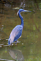 Tricolored heron adult in breeding plumage wades in pond