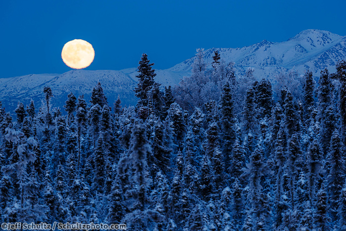 Hoarfrost on trees and shrubs as full moon rises over Chugach Mountains at Anchorage, Alaska Winter Southcentral, Alaska