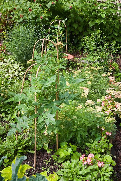 Tomato plant vegetables staked and growing in flower, herb, fruit garden: Achillea, Begonia flowers, black raspberries, Salvia sage herb, etc