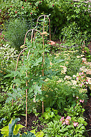 Tomato plant vegetables staked and growing in flower, herb, fruit garden: Achillea, Begonia flowers, black raspberries, Salvia sage herb, etc
