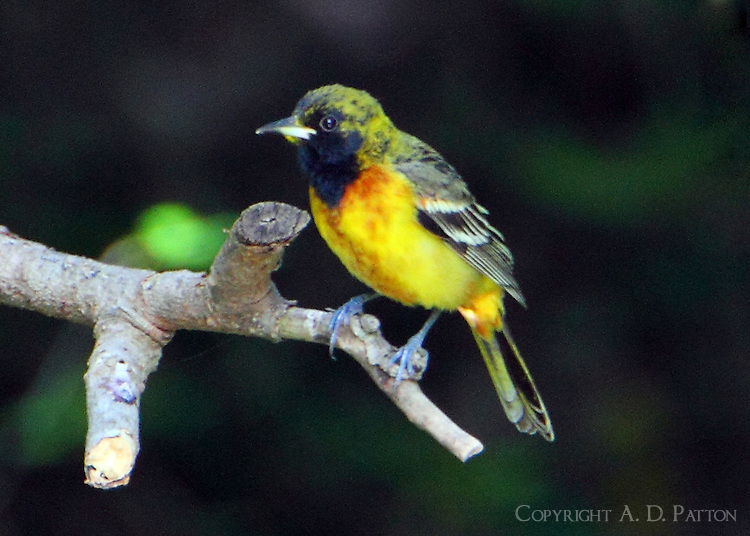 First-summer male orchard oriole in transition plumage