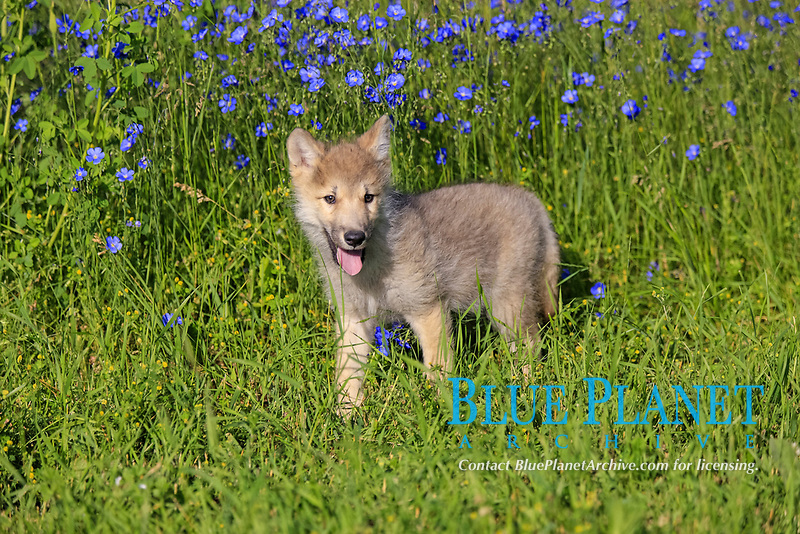 Timber Wolf (Canis lupus), eight-week old pup, standing in meadow, captive, Montana, USA, North America