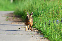 Feldhase, Feld-Hase, Hase, Hasen, Lepus europaeus, hare, hares