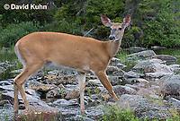 0623-1010  Northern (Woodland) White-tailed Deer, Odocoileus virginianus borealis  © David Kuhn/Dwight Kuhn Photography