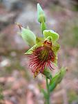 Calochilus campestris-Copper Beard Orchid