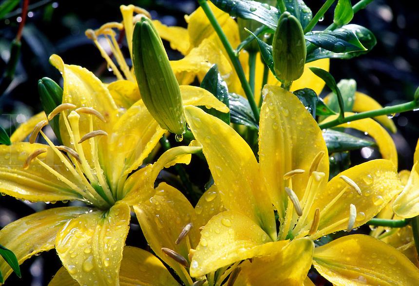 Detail of yellow lilies (Lilium, Asiatic hybrid) #6750. Virginia.
