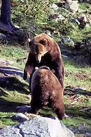 Bruine beer (Ursus arctos), rivaliserende jonge mannetjes