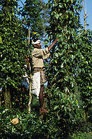 INDIA Kerala, Idukki District, Peermade, Cardamom Hills, organic and fairtrade pepper project of PDS Peermade Development Society, farm worker harvest green pepper berries, after harvest they will be dried in the sun / INDIEN Kerala, Kardamom Berge, Peermade Development Society, Anbau von fairtrade und Bio Pfeffer, Bauern ernten die gruenen Pfefferbeeren, nach der Ernte werden sie in der Sonne getrocknet bis sie schwarz werden