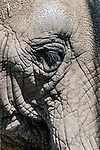 african elephant close-up of face