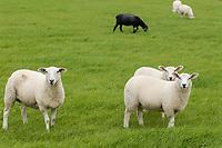 GERMANY, Pellworm, black and white sheeps / DEUTSCHLAND, Pellworm , ein schwarzes Schaf und weisse Schafe auf Weide