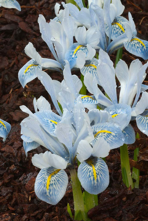 Blue flowers of spring blooming Iris histrioides 'Sheila Ann Germaney' (reticulata)