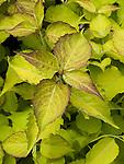 Golden Lantern Pheasant Berry or Himalayan Honeysuckle, Leycesteria formosa