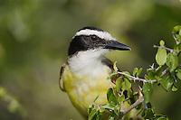 Great Kiskadee (Pitangus sulphuratus), Sinton, Corpus Christi, Coastal Bend, Texas, USA