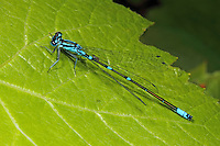 Fledermaus-Azurjungfer, Fledermausazurjungfer, Azurjungfer, Männchen, Coenagrion pulchellum, variable damselfly, Variable Bluet, male, Agrion joli