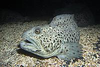 Gefleckter Seewolf, Gefleckter Katfisch, Anarhichas minor, spotted wolffish, spotted sea-cat, spotted catfish, spotted cat