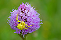 Goldenrod Crab Spider (Misumenia vatia) on Globe Orchid {Traunsteinera globosa}. Nordtirol, Austrian Alps, Austria, July.