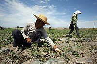 Cotton pickers weeding fields outside of the town of Shihezi in China's western Xinjiang Province.