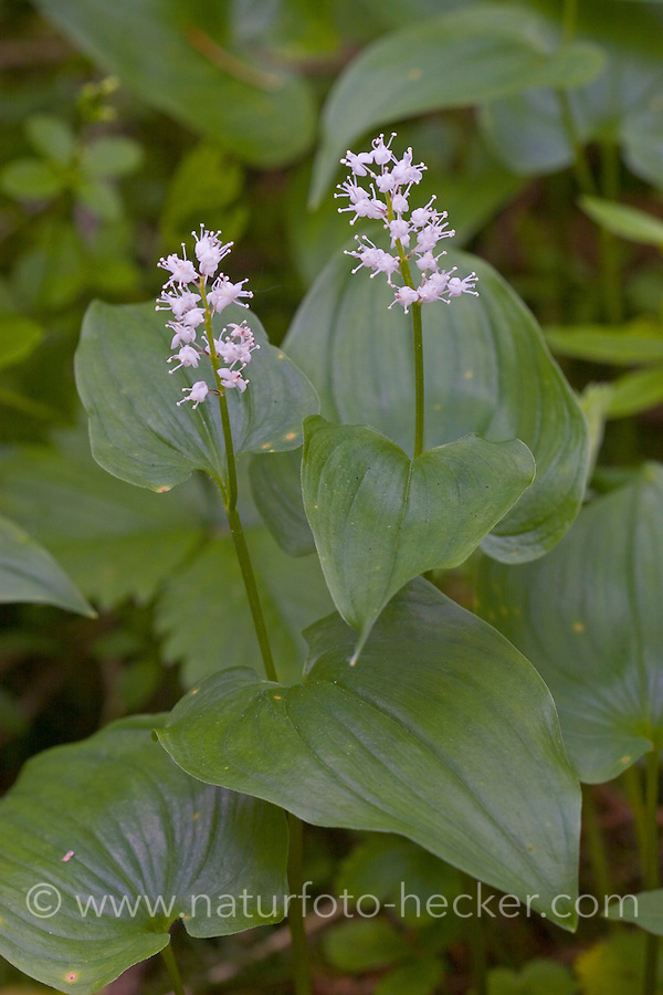 Zweiblättrige Schattenblume, Zweiblättriges Schattenblümchen, Maianthemum bifolium, Majanthemum bifolium, May Lily