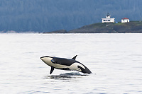 A gathering of several Orca, Orcinus orca, pods in Chatham Strait, Southeast Alaska, USA. Pacific Ocean These animals numbered in the many tens, perhaps even over a hundred as they were spread out in many small groups all traveling north and spread out for many miles. Group size consisted of individuals as well as many tightly formed groups numbering up to about 18 animals.
