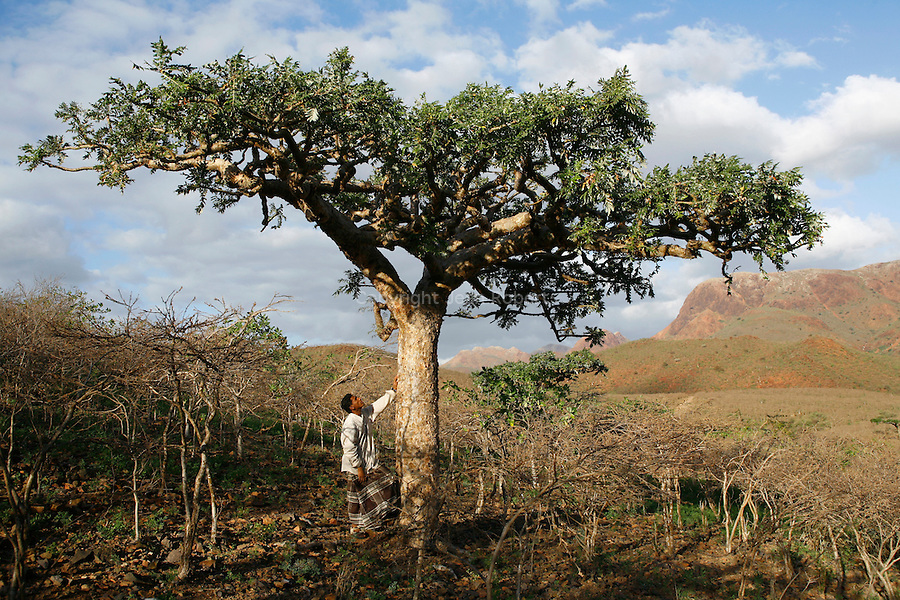 . Socotran Frankincense (Boswellia elongata) nerzaby Homhil valley Socotra island. Yemen