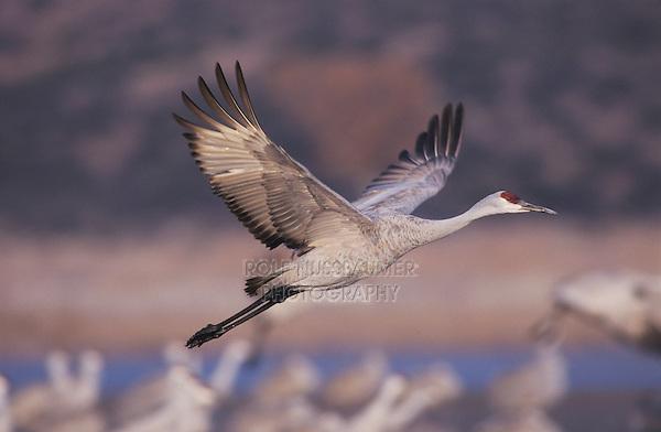 Sandhill Crane, Grus canadensis, adult in flight, Bosque del Apache National Wildlife Refuge, New Mexico, USA, December 2003