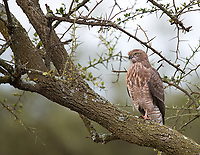 We spied this goshawk toward the end of our trip in Ndutu.