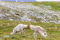Two Dall sheep rams crash horns as part of a dominance display on a mountain ridge in Denali National Park, Interior, Alaska.