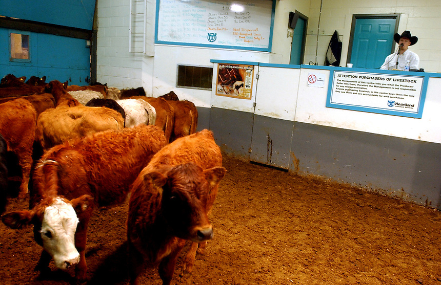 Cattle enter the show room during an auction at Heartland Livestock near Moose Jaw, Sask. MARK TAYLOR/Moose Jaw Times-Herald