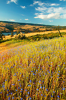 The Columbia River and fields of wildflowers along the Historic Columbia River Highway, Columbia River Gorge National Scenic Area, Oregon