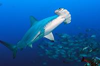 scalloped hammerhead shark, Sphyrna lewini in Cocos Island, Costa Rica, Pacific Ocean