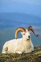 Dall sheep ram, Denali National Park, Alaska.
