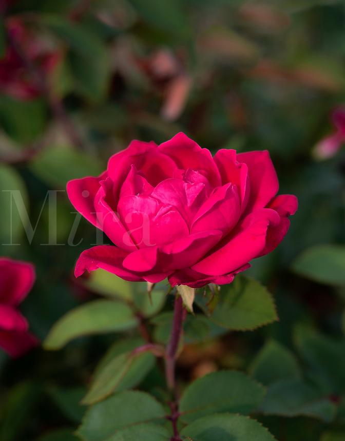 Red garden rose in bloom.