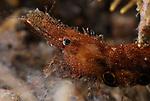 Brown Grass Shrimp, Leander tenuicornis (relatedto the Donald Duck shrimp-Leander pluoseus)