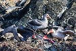 Northern Giant Petrels Eating Fur Seal