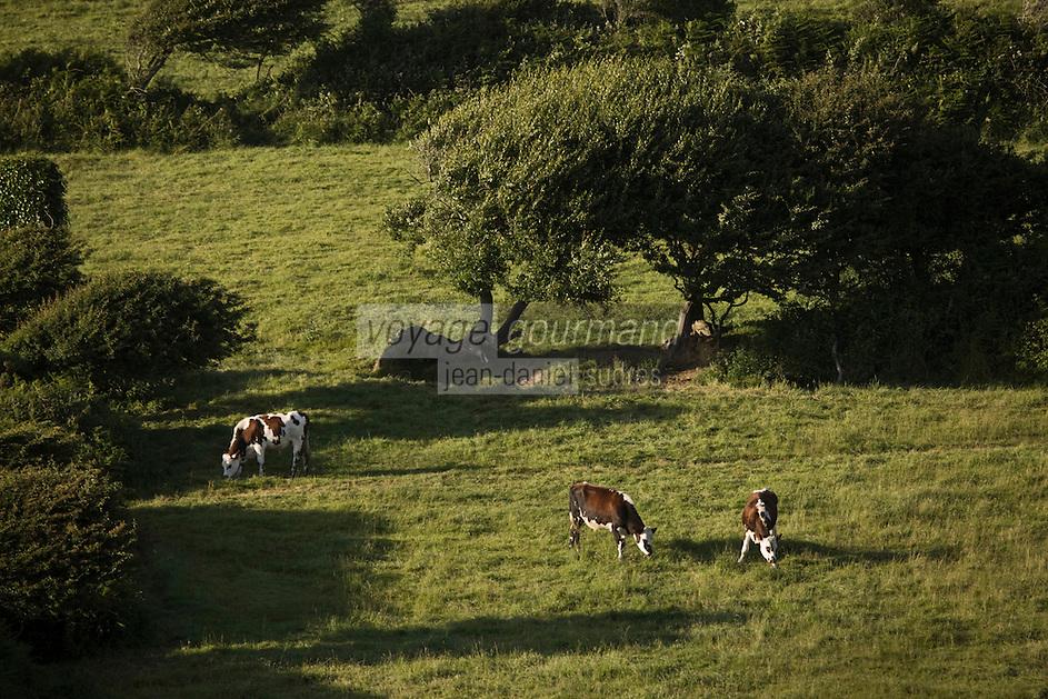 Europe/France/Normandie/Basse-Normandie/50/Manche/Presqu'île de la Hague/ Env de Jobourg: Vaches  normandes en paturage  dans le bocage