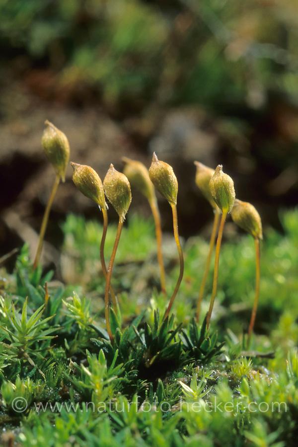 Zwerg-Filzmützenmoos, Kleines Filzmützenmoos, Pogonatum nanum