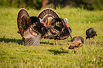 Wild turkeys strutting in a field at a cattle ranch in the Mother Lode of California..(Meleagris gallopavo)