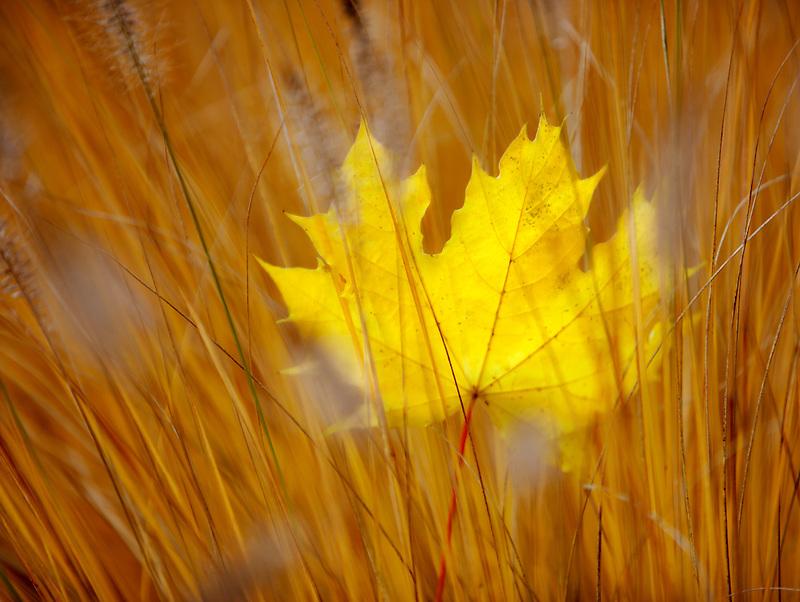 Fall colored Big Leaf Maple leaf in grass. Wilsonville. Oregon