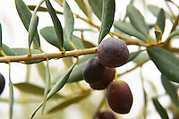 Olives on a branch Aglandau variety. Moulin Mas des Barres olive mill, Maussanes les Alpilles, Bouches du Rhone, Provence, France, Europe