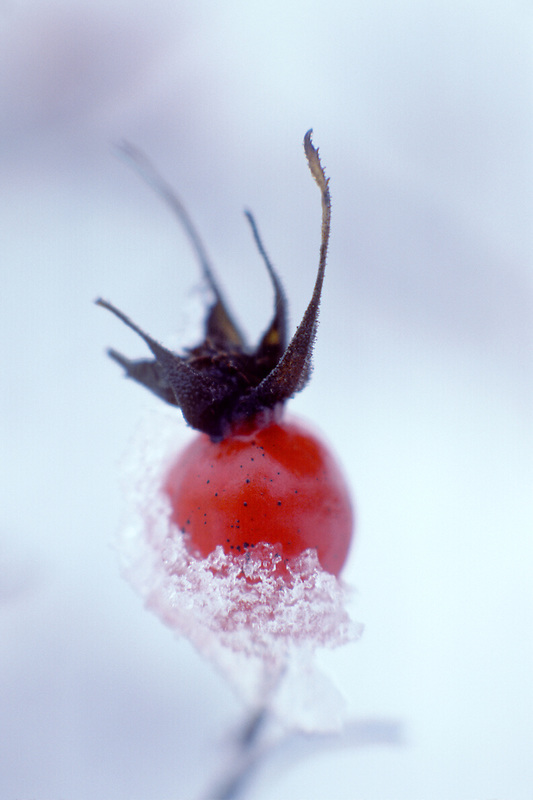 V00078.tif    Rose hip in snow. Finley Wildlife Refuge, Oregon