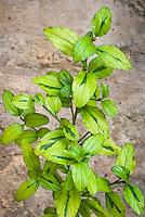 Ceanothus 'Zanzibar' aka El Dorado aka Pershore Zanzibar aka Perado, variegated shrub foliage in gold and green