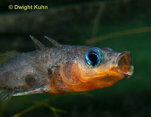 1S13-501z  Male Threespine Stickleback yawning behavior, Mating colors showing bright red belly and blue eyes,  Gasterosteus aculeatus,  Hotel Lake British Columbia