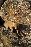 Wild Coyotes (Canis latrans) pup exploring boulder field near its den.  Western U.S., June.