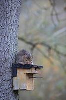 Katze klettert an einem Baumstamm hoch an einen Nistkasten, Hauskatze will Vogel-Nistkasten ausräumen, Vogelnistkasten, Nesträuber, Vogelschutz, streuende Katze, Freigängerkatze, Freigänger-Katze, Katzen, Hauskatzen