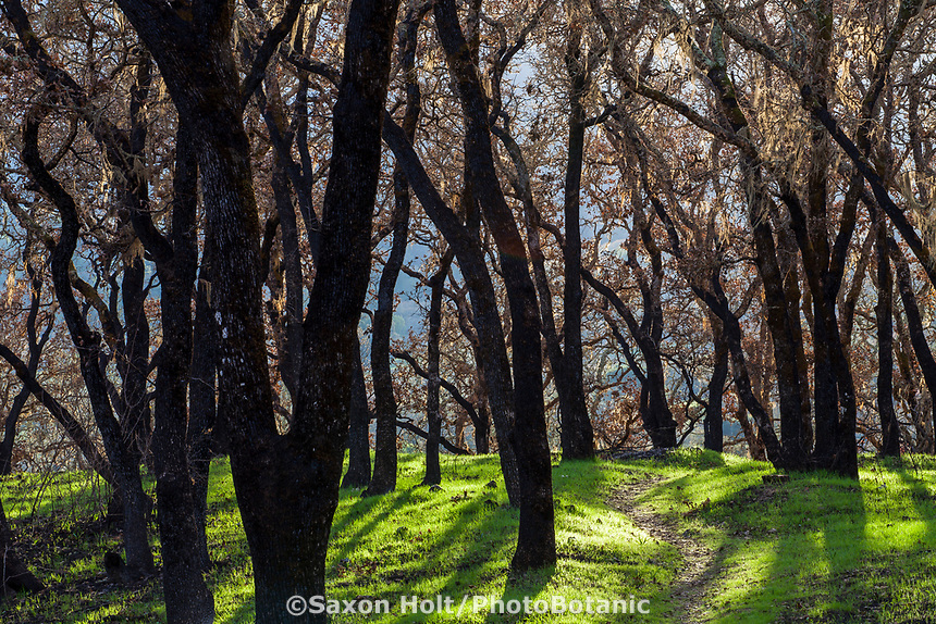 Park trail through burned Oak trees; Fire damage and recovery from Nuns fire October 2017, Sonoma Regional Park, California, path through oak trees