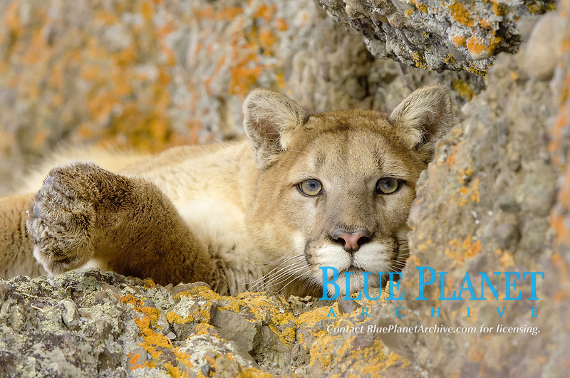 Puma (Felis concolor), adult, close-up of head and front paw, resting on rocks, USA, America, North America