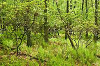 Spring laurel and forest, Shenandoah National Forest, Virginia